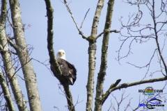 Eagle-Sitting-Skagit-1bd