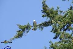 Eagle-Skagit-1bc