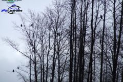 Eagles-in-Trees-1a