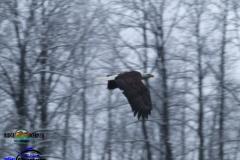Skagit-Flying-Eagle-Caught-Mid-Flight