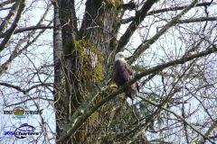 Skagit-River-Eagle-3dga