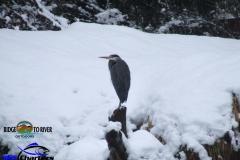 Wintering-Blue-Heron-Skagit-River